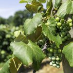 grapes hanging on the vine in a vineyard